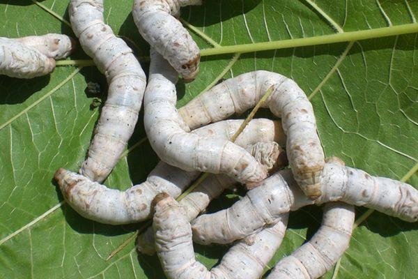 importancia del gusano de seda