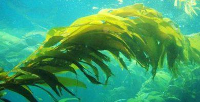 importancia de las algas